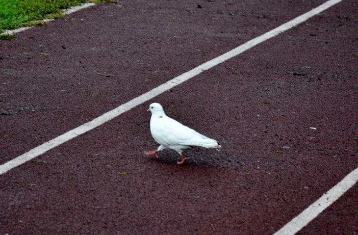этот голубь живет на стадионе месяц, здесь его подкармливают